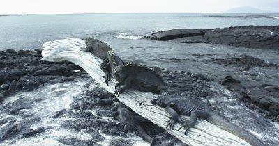 Galapagos Marine Iguanas on a Log dolly 2