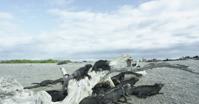 Galapagos Marine Iguanas WIDE on a Log dolly IN