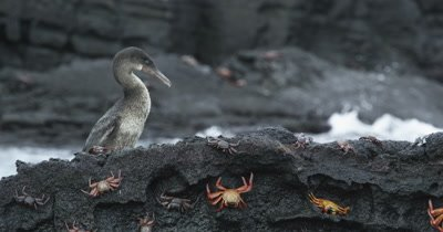 Galapagos Flightless Cormorant walking and jumping