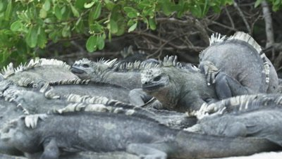 Galapagos Marine Iguanas cluster one walking over