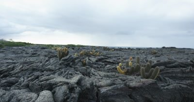 Galapagos Volcanic island cactus jib up