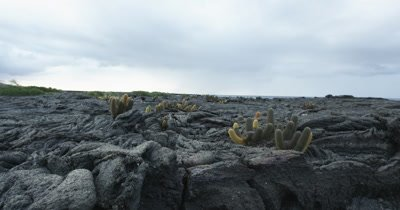 Galapagos Volcanic island cactus jib up 2
