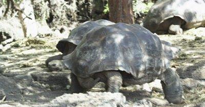 Galapagos Tortoise walkin