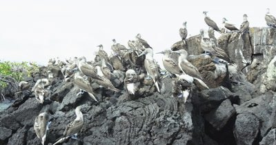 Galapagos Blue-Footed Booby cluster a rock