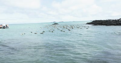 Galapagos Blue-Footed Booby cluster flying from sea