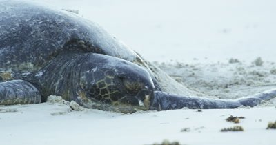 Galapagos Green Sea Turtle Stock Footage