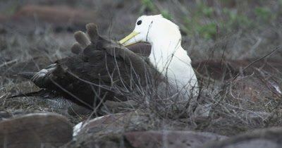 Galapagos Waved Albatross preening