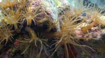 Aiptasia Sea Anemone In A Shallow Tidepool With Colorful Background, Extreme Close Up