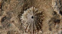Key Hole Limpet On Rock In A Home Scar, Close Up Zoom To Extreme Close Up