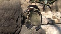 Humbolt Penguin (Spheniscus Humboldti) Close Up Of Head Zoom Out To Reveal Entire Animal Jumping Off A Rock