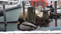 Ducks Rest In The Small Marina In DragøR, Denmark, Near CøPenhagen