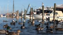 Ducks And Gulls Compete For Food In The Small Marina In DragøR, Denmark, Near CøPenhagen