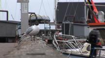 Black Headed Gulls On Dock In DragøR, Denmark, Near CøPenhagen, Focus Pull