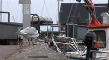 Black Headed Gull Squaking On Dock In DragøR, Denmark, Near CøPenhagen