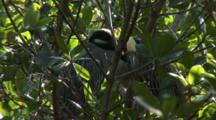 Black-Crowned Night Heron (Nycticorax Nycticorax) Juvenile In Mangroves