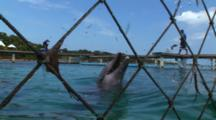 Bottlenose Dolphins (Tursiops Truncatus) Photographes Through Netting Of Dolphin Pen, Various Behaviors