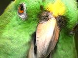 Yellow Napes Amazon Parrot Chewing.  Close Up (Amazona Auropalliata)
