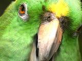 Yellow Napes Amazon Parrot Chewing.  Close Up (Amazona Auropalliata)