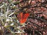 Great Basin Fritillary - Speyeria Egleis Resting On Host Plant Flapping Wings.
