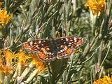 Field Crescent (Phyciodes Pulchella) Resting & Feeding On Host Plant In High Desert