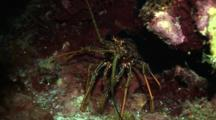 A Spiny Caribbean Lobster In A Cave, Shot Zooms In Close