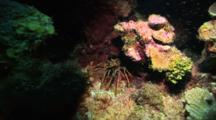 A Spiny Caribbean Lobster In A Cave, Shot Zooms In Slightly