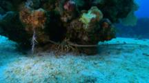 A Spiny Caribbean Lobster Under A Coral Head On The Sand