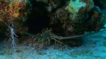 A Spiny Caribbean Lobster Under A Coral Head On The Sand, Wide Angle Closeup