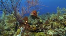 A Large Grouper Or Snapper Hiding Under A Soft Coral, Diver In The Background