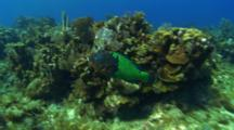 Pov Following A Large School Of Tang Over A Reef And Large Parrotfish Enters Frame