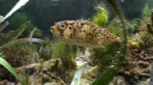 A Puffer Fish Swims Through Shallow Grassy Area