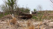 Atlantic Horseshoe Crab (Limulus Polyphemus) Shell In Grass With Nesting Black Backed Gull In The Background
