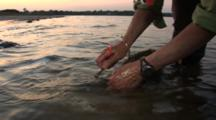Atlantic Horseshoe Crabs (Limulus Polyphemus) Receive Tags At Dusk, While Still In The Water