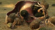 A Group Of Long-Claw Hermit Crabs (Pagurus Longicarpus) Attack A Moon Snail Shell Underwater