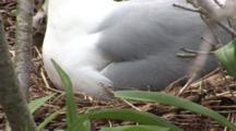 An American Herring Gull (Larus Smithsonianus) On Nest, Stands Up To Reveal Eggs