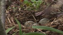 An American Herring Gull (Larus Smithsonianus) With Egges In Nest, Medium Close On Eggs, Gull Sits At End Of Shot
