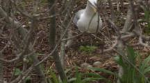An American Herring Gull (Larus Smithsonianus) With Egges In Nest, Walks Towards Nest And Sits