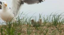 Great Black Backed Gull Chicks (Larus Marinus) Hide In Tall Grass, With Protective Parent Near
