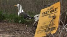 An American Herring Gull (Larus Smithsonianus) On Nest, Shot Includes An Informational Sign About Nesting Birds