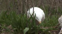 An American Herring Gull (Larus Smithsonianus) Settling Onto Nest