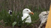 An American Herring Gull (Larus Smithsonianus) On Nest Then Shot Zooms Out To Include Nesting Bird Information Sign