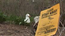 An American Herring Gull (Larus Smithsonianus) On Nest, Includes Nesting Bird Information Sign