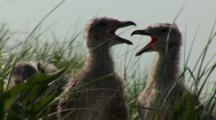 Great Black Backed Gull (Larus Marinus) Chicks In Tall Grass And Panting, Shot Follows The Action