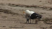 Great Black Backed Gull (Larus Marinus) Chicks With An Adult On The Beach, Chicks Solicit The Adult,  Adult Regurgitates Fish, Note The Bulge In The Adults Neck