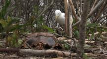 An American Herring Gull (Larus Smithsonianus) Enters The Frame And Settles Onto Her Nest.  A Horseshoe Crab Carapace Is In The Forground