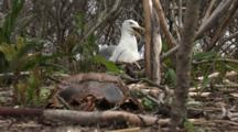 An American Herring Gull (Larus Smithsonianus) On Nest Then It Stands And Leaves