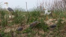 An American Herring Gull (Larus Smithsonianus) Pair On Nest, In Grass With Horseshoe Crab Shells In The Forground