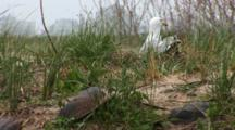 An American Herring Gull (Larus Smithsonianus) On Nest, In Grass With Horseshoe Crab Shells In The Forground