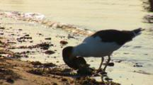 Great Black Backed Gull (Larus Marinus) Eats A Horseshoe Crab, Nice Afternoon Light
