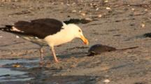 Great Black Backed Gull (Larus Marinus) Eats A Horseshoe Crab, Gull Flips Crab Over, Nice Afternoon Light